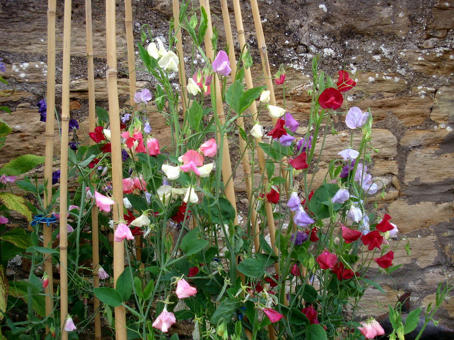 Sweet Pea Trellis Ideas Part - 43: Sweet Peas. Round Two